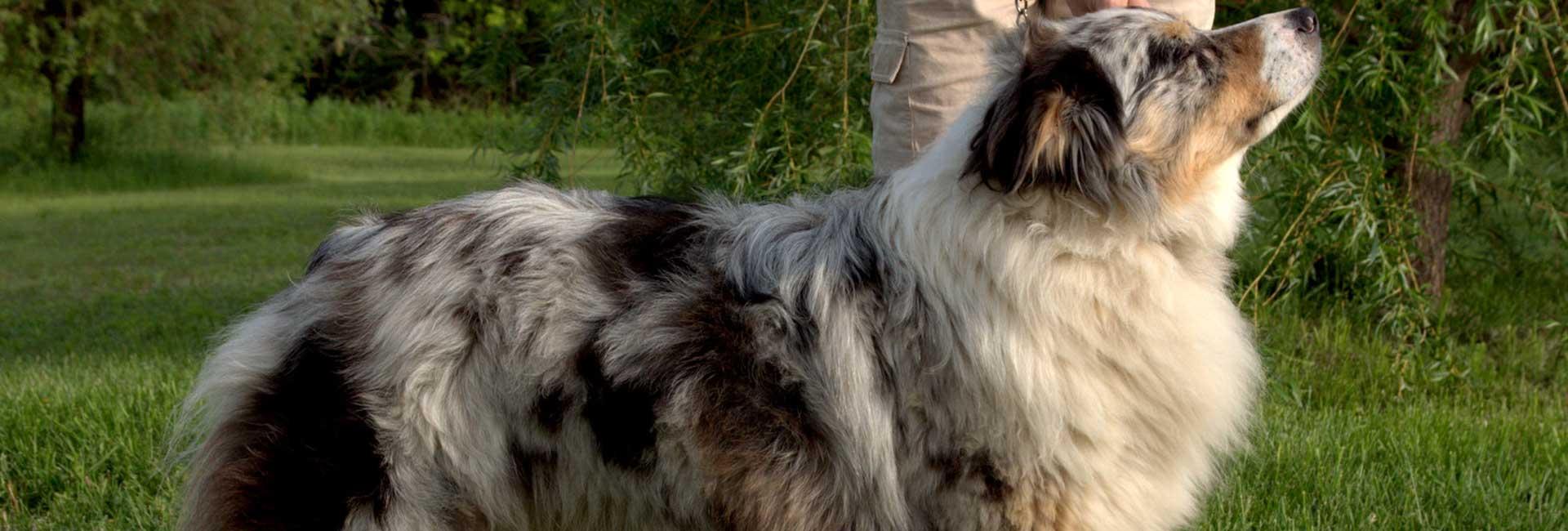 aussie-bazant-dogs